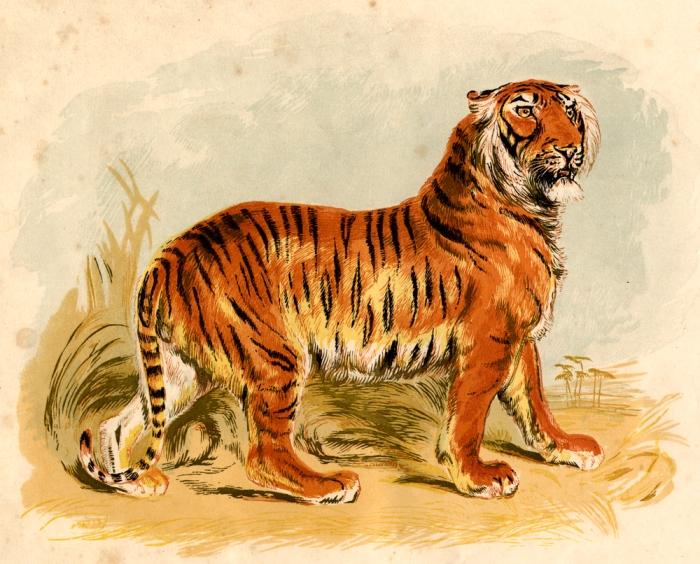 Tiger full
